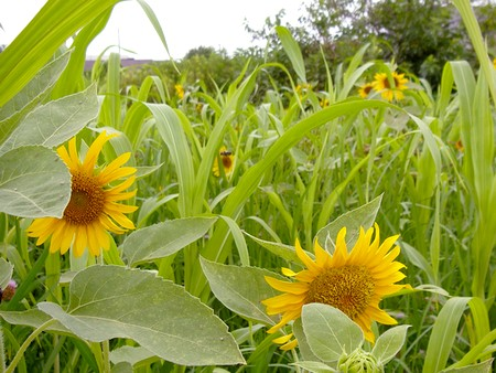 20140807sunflower.jpg